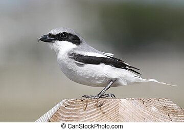 Loggerhead Shrike (Lanius ludovicianus) hunting for birds...