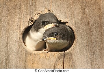 Baby Birds In a Bird House - Pair of Baby Tree Swallows...