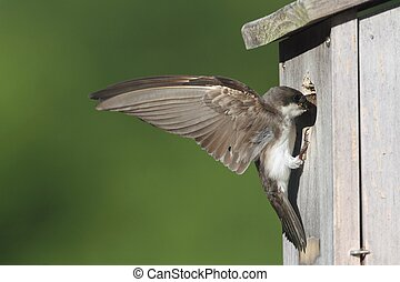 Tree Swallow Feeding Bringing Food To Nest - Female Tree...