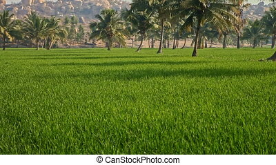 Motion from Old Town on Hill to Blue Flowers in Rice Field -...