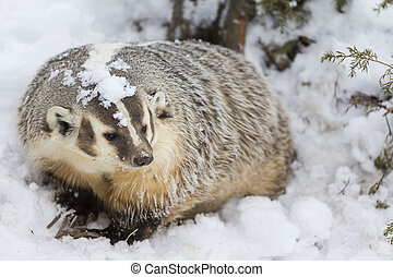 Badger In The Snow - A badger hunts for prey in a snowy...