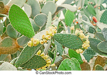 Green opuntia ficus-indica, cactus. Know as Indian fig...