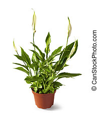 Spathiphyllum (Spath or peace lily) in a pot isolated on white background with clipping path