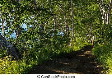 Betula ermanii on the top of the Nikolskaya Hill in city of...