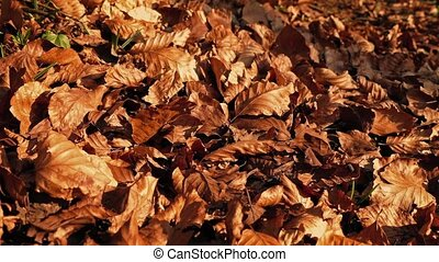 Crisp Fall Leaves Blowing Around In The Wind - Closeup of...