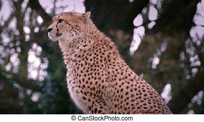 Cheetah In Pretty Evening Light - Cheetah by trees looking...