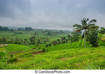 rice fields with rain clouds - green rice fields with rain...