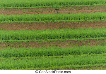 ricefield terraces cultivation in bali