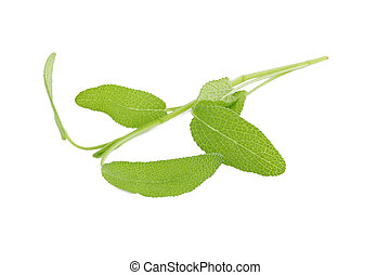 Sage plant on a white background. - Sage plant on a white...