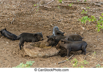 many young pigs indonesia