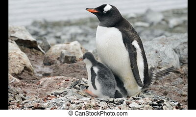 Gentoo Penguin with chicks in the nest - Gentoo Penguins...