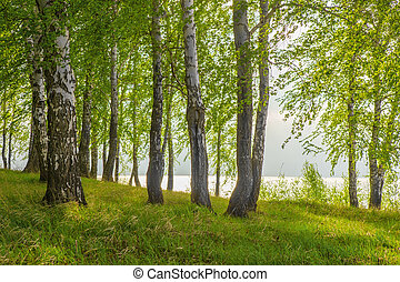 birches on the river bank in the bright summer afternoon