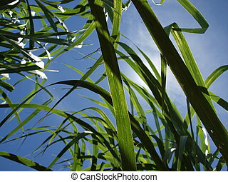 Sugar Cane basking in the sun - Sugar Cane under the searing...