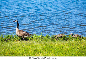 Canada Goose and goslings - A Canada Goose and her goslings...