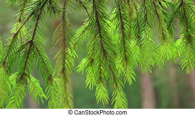Fir-tree branches with young shoots. Shot in 4K (ultra-high...