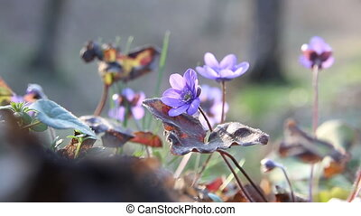wild flowers in spring forest