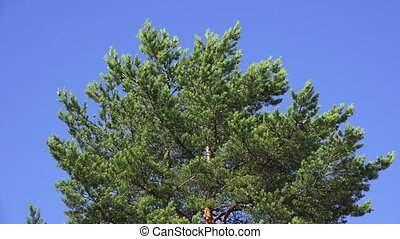 Crown of pine trees against the sky. Shot in 4K (ultra-high...