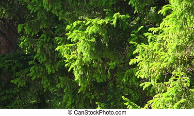 Fir-tree branches with young shoots. 4K. - Fir-tree branches...