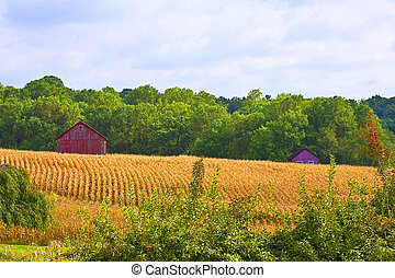 Old Red Barn in cornfields - Old barn in landscape with...