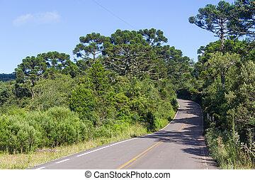 angustifolia,  araucaria, bosque, camino