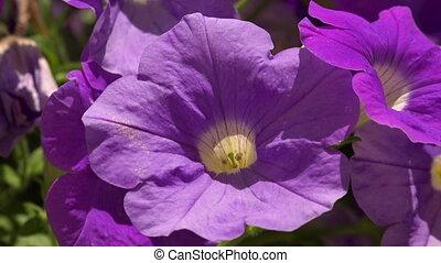 Flowers purple bells. Shot in 4K (ultra-high definition...