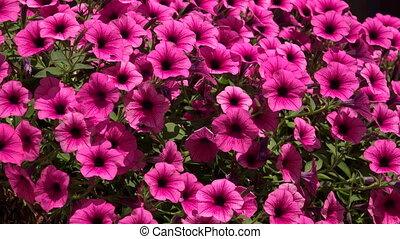 Flowers purple bells. 4K. - Flowers purple bells. Shot in 4K...