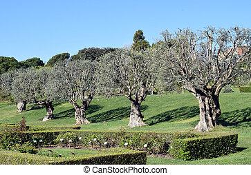 Olivos en jardines parques urbanos