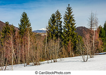 spring has sprung in mountain forest - spruce trees on a...