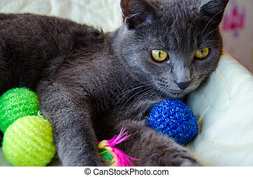 Russian blue cat with toys