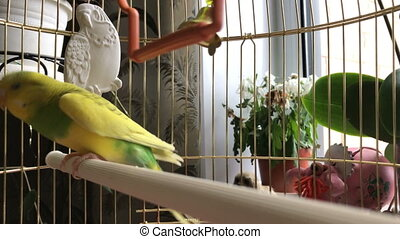 Crazy yellow and green parrot in a cage. Video 4k.
