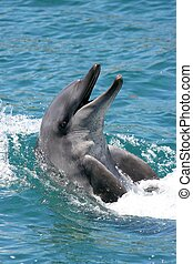 Bottenose Dolphin - Smiling bottlenose dolphin with its head...
