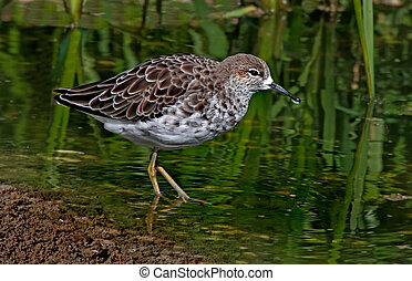 Female Ruff - A female Ruff in a river in Norfolk England