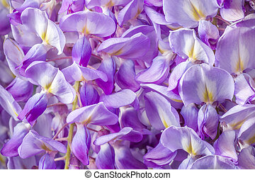 Wisteria Flowers - Close Up of Violet Wisteria Flowers