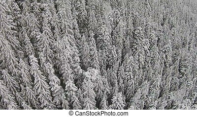Snow-covered trees in a mountainous area during a fog
