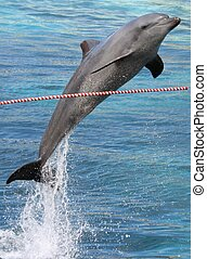 Jumping Dolphin - Bottlenose dolphin jumping over an...
