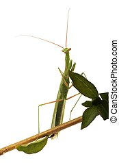 Praying Mantis on white background - Portrait of a...