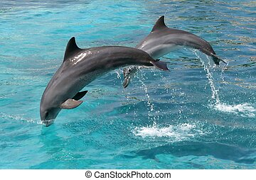 Jumping Dolphins - Bottlenose dolphins jumping out of the...