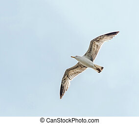 Colored seagull in the blue sky, open eye, close up