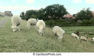 Sheeps eating on the dike - Eating sheep on the land in...