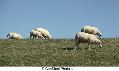 White sheeps on the dike. - Sheeps eating grass in Friesland...