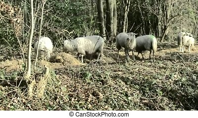 Sheeps in the forest - Sheeps on the land in Holland