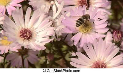 Bee on flowers (aster novi-belgii). - Bee collects honey on...