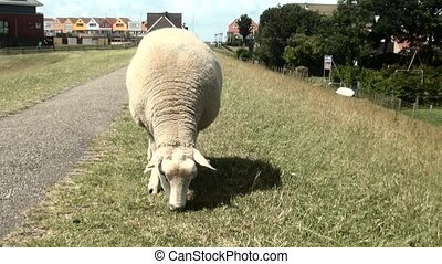Eating sheep on the dike of the IJsselmeer - Eating sheep on...