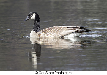 Side view of swimming goose. - A Canadian goose shows its...