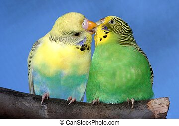 Cute Kissing Budgie Pair