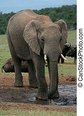 africaine, Éléphant, buffle