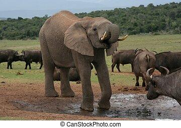 africaine, Éléphant, buffles