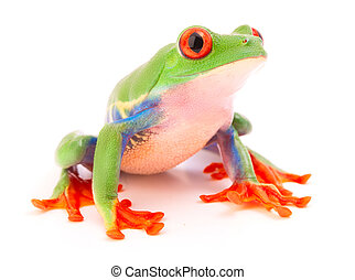 Red eyed tree frog a tropical anima