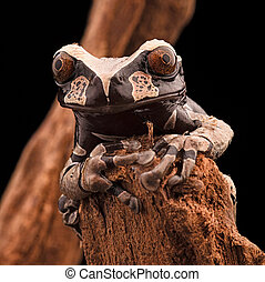 Spiny headed tree frog from the Amazon rain forest