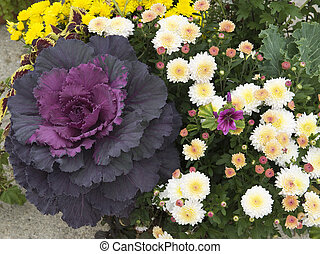 flowering cabbage with mums